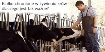 Białko chronione w żywieniu krów – dlaczego jest tak ważne?