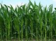 Kukurydza bez chwastów – jak tego dokonać?