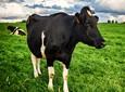 Najważniejsze witaminy dla krów mlecznych