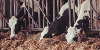 Żywienie krów zasuszonych –znaczenie związków mineralnych