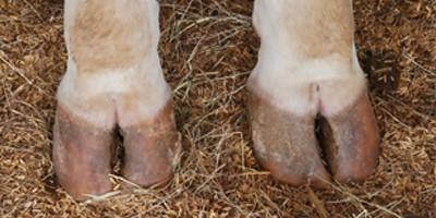 Choroby racic i inne problemy związane z kończynami krów mlecznych
