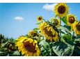 Uprawa słonecznika – potencjał i zyski