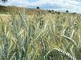 Wysoki plon zbóż jarych – zaplanuj go przed siewem