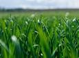 Nawożenie dolistne zbóż mikroelementami – ilość a dostępność składników