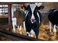 Żywienie bydła opasowego – dawki sprawdzone w stadzie [WYWIAD]