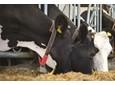 Problemy z podnoszeniem wydajności mlecznej
