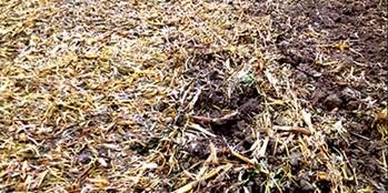 Rozkład słomy z kukurydzy – jak go wspomóc?