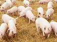 Dofinansowanie dla spółek wodnych i hodowców świń