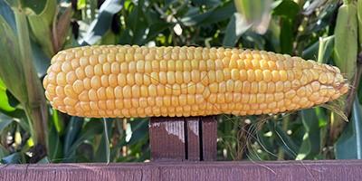 Nowa, polska odmiana kukurydzy ziarnowej