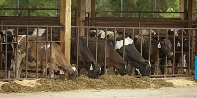 Błędy w żywieniu krów a ciche ruje