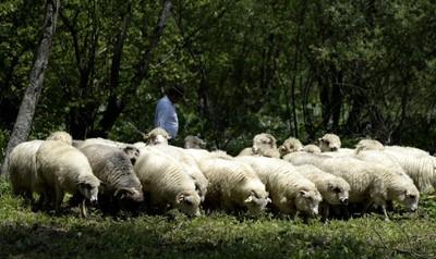 Śląskie wspiera hodowlę owiec i kóz; są pieniądze m.in. na ich wypas