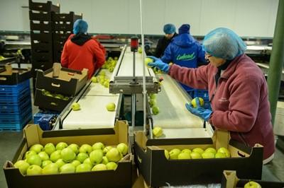 """""""Puls Biznesu"""": za duże zapasy jabłek"""