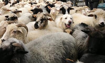 W Bieszczadach dobiega końca redyk owiec