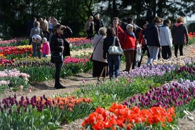 """Wielkopolskie: 1 maja premiera nowego tulipana o nazwie """"Bronisław Komorowski"""""""