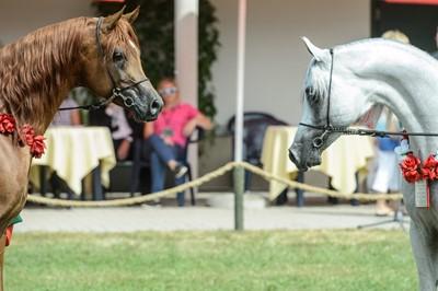 """Umowa dot. aukcji koni arabskich rozwiązana; """"Pride of Poland"""" się odbędzie"""