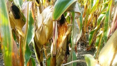 Kukurydza dosycha
