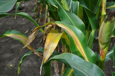Podtopione korzenie kukurydzy